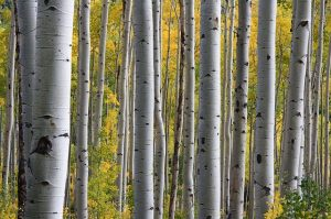 Birch trees with leaf background
