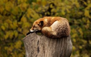 fox sleeping on top of a log