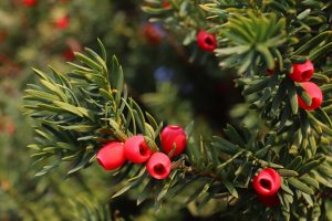 Yew tree with berries