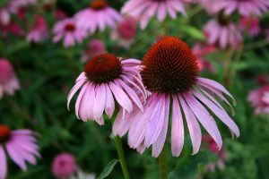coneflower in a field