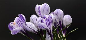 crocus flower in black background