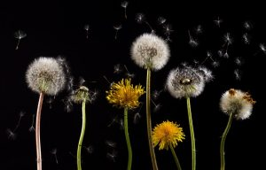 dandelion flowers in black background