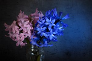 Hyacinth flowers in black background