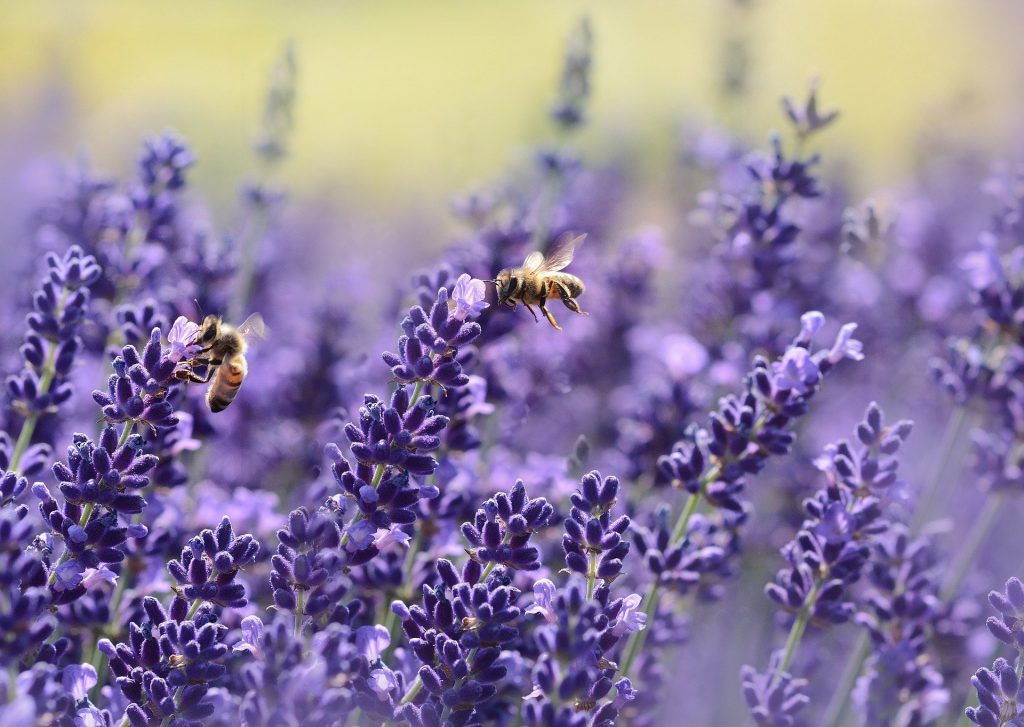 Lavender Field with bees